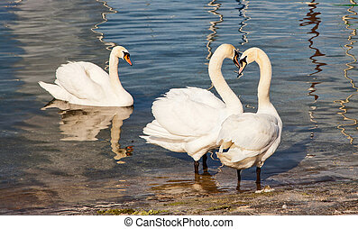 Menage a trois - Three swans gather at the edge of a lake