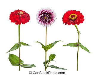 Three flowers isolated on white background. Zinnia and...