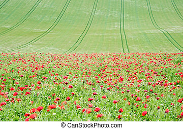 Summer landscape of wild poppies in agricultural field