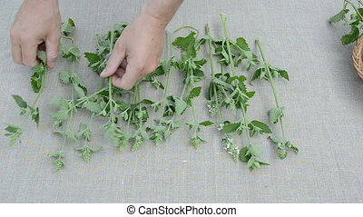 lemon-balm medical herbs on linen cloth