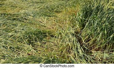 flatten wheats field after storm - flatten wheats field...