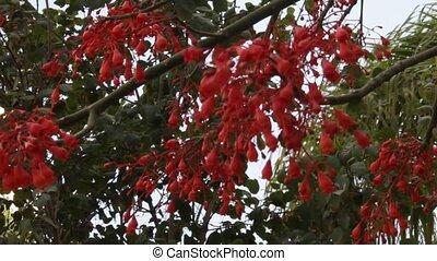 Brachychiton Bottle tree - Brachychiton Kurrajong,...