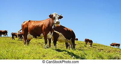 vacas, verano, alpino