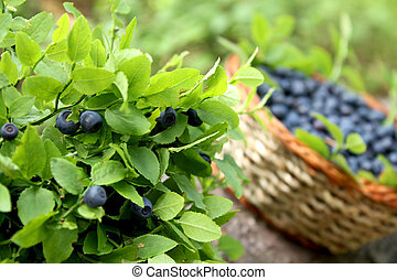 blueberries - blueberry bush and basket with fresh...