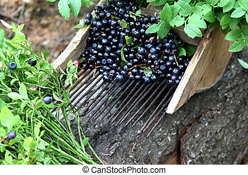 comb for picking blueberries, fresh blueberries and...