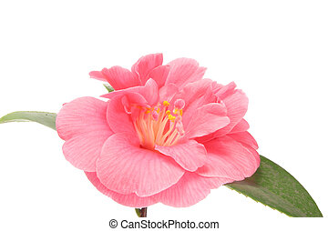 Camellia close up - Camellia flower close up