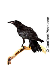 Bird rook - The bird a rook sits on a branch on a white...