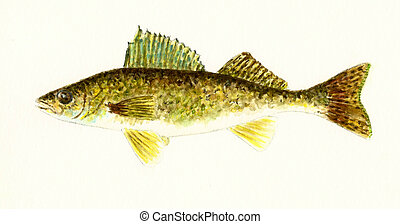 Walleye - Watercolor painting of a Walleye Fish
