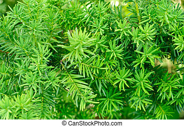 Yew (Taxus baccata)  green leaves  background