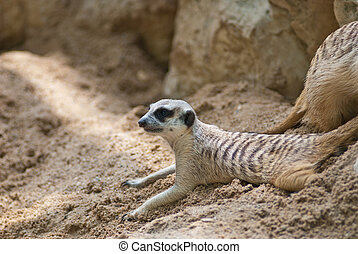 meercat activity in the zoo