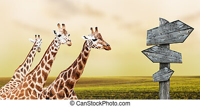 Giraffes - Group of giraffes lost in prairies, concept of...