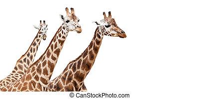 GIraffes - Group of giraffes, isolated on white background