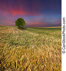 Wheat field at summer Sunset