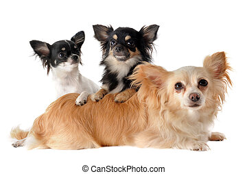 three chihuahuas - portrait of a cute purebred puppies and...
