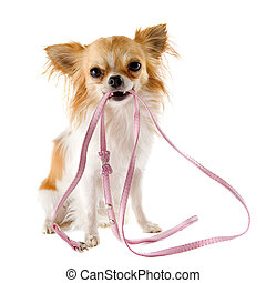 chihuahua and leash - portrait of a cute purebred chihuahua...