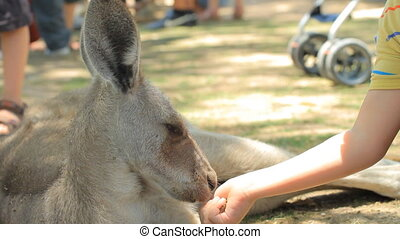 Child and kangaroo - Child feeding a kangaroo in Gan Guru in...