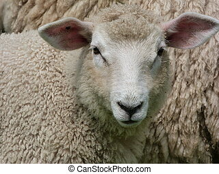Face of a Romney Lamb - Face of Romney lamb with large ears