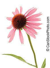 Echinacea isolated on white