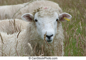 Face of Romney Lamb in a meadow