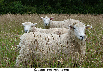Romney lambs in a meadow