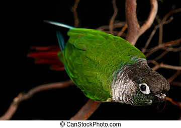 Inquisitive Green Cheek Conure - Curious Conure on Tree...