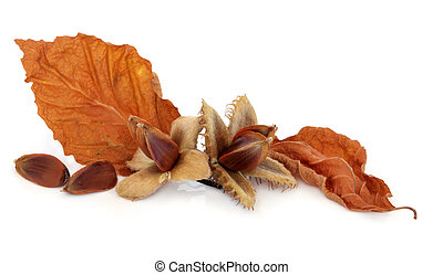 Beech Nuts - Beech nuts with leaf sprigs over white...