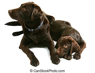 Two Chocolate Lab Brother