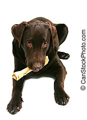 Thats my Bone!! - Chocolate Labrador holding his bone in his...