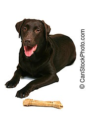 Give the Dog a Bone - Chocolate Labrador lying down with his...