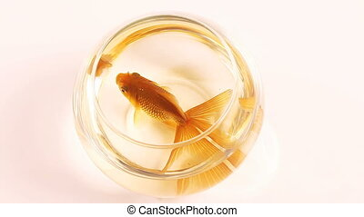 goldfish swimming in fish tank - goldfish in fish bowl in...