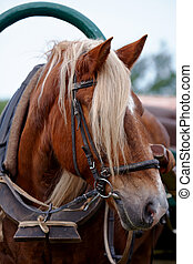 The harnessed horse