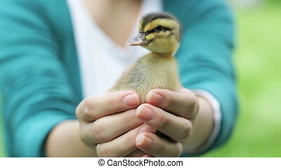 little duckling in hands - duckling sitting in girl%u2019s...