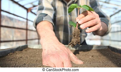 replanting of young plant - old gardener planting little...