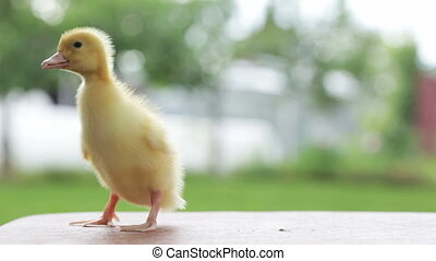 emotional little duckling - one yellow duckling quacking,...