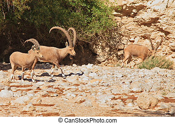 A herd of wild goats, with huge horns grazing in the...