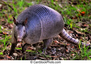 Armadillo - An armadillo runs through the forest floor