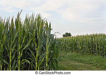 Cornfield View - A view inside the cornfield in rural...