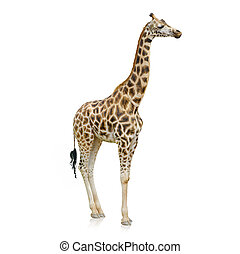 Potrait Of A Giraffe On White Background