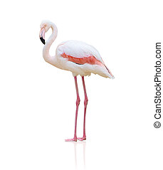 Portrait Of A Flamingo On White Background