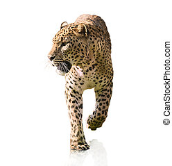 Portrait Of A Leopard Walking On White Background
