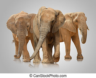 Small Group Of Elephant Walking On White Background