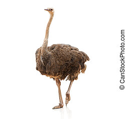 Portrait Of A Ostrich On White Background