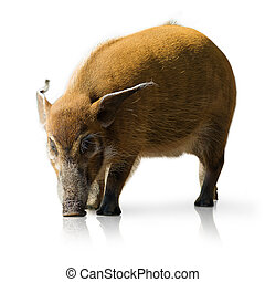 Portrait Of A Pig On A White Background