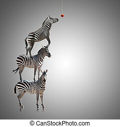 Stack Of Zebra Reaching To Eat Apple On Grey Background