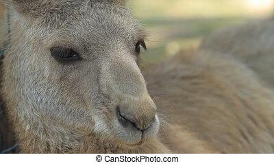 Kangaroo in Gan Guru in Israel