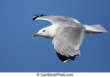 Ring Billed Gull in Flight - Ring-billed Gull (Larus...