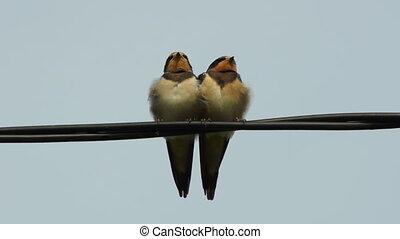 Couple of little swallow birds - close-up view