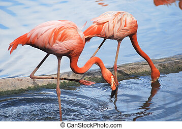 couple of a beautiful pink flamingo, two tropical bird