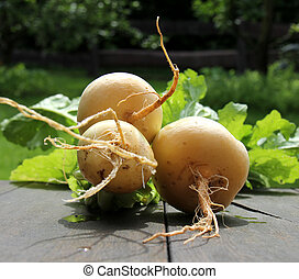 May turnips - Radish from organic farming