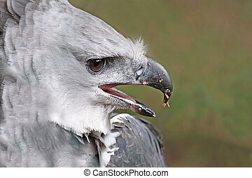 close up male adult harpy eagle, panama, central america